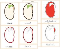 The Helpful Garden: Montessori Botany Primary Parts of Cards - Update! What Is Montessori, Montessori Homeschool, Montessori Classroom, Montessori Toddler, Montessori Activities, Outline Images, Spring Plants, Botany, Teaching Kids