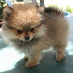 Cute baby Pomeranian looks like my pom when he was a baby <3