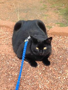"From Karen: ""I was just in Kanab, Utah volunteering at Best Friends Animal Rescue and Sanctuary. What a WONDERFUL experience! This beauty is a bit overweight and is encouraged to get outside and move! I would recommend this volunteer experience to any animal lover!!"" In October, we are celebrating black cats for Halloween. www.catfaeries.com - Products for good behavior & health for the modern housecat."