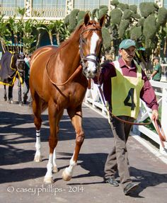 CALIFORNIA CHROME at Santa Anita Park - a favorite in 2014 Kentucky Derby  on 5/3 at Churchill Downs.