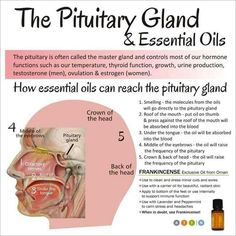 Essential oils and the pituitary gland Dayna's Young Living member Pituitary Gland, Pineal Gland, Intracranial Hypertension, Yl Oils, Doterra Essential Oils, Adhd Oils, Best Essential Oils, Essential Oil Uses, Young Living Oils