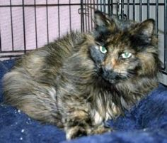 Verity 067 is an adoptable Tortoiseshell Cat in Salem, OR.   Verity - Female     DMH - Torti     Approximately 12 years old     Animal ID - A14937693   Verity needs an understanding guardian.  Being older she is somewhat set in her ways & just likes to do her own thing & be her own person. :)