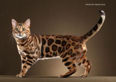 best images and photos ideas about bengal cat - cats that look like tigers