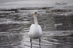Swan Photography, Swan Standing on frozen water, Wildlife Photography, Wall Art, Swan Prints, Swan Photo, Wildlife Photo, Wildlife Prints