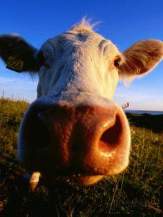 Close-Up of Cow's Nose at Glumslovs Backar, Landskrona, Skane, Sweden Photographic Print by Anders Blomqvist at AllPosters.com