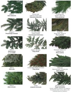 types-of-evergreens | The Rose Shop | Utah Full Service Florist  #christmas #christmasfloral #holiday #theroseshop
