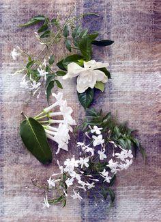 Zarte Blüten von Jasmin, Stephanotis und Gardenie – Pflanzenfreude.de