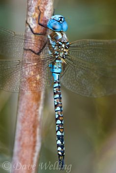 339360046 a wild male blue-eyed darner rhionaeschna multicolor perches on a bush along a canal off jean leblanc road near bishop inyo county california united states