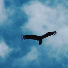 Una silueta señal de la muerte en el llano un zamuro volando alto en el cielo #buitre #zamuro #vulture #vidasalvaje #wildlife #Venezuela #Llanos