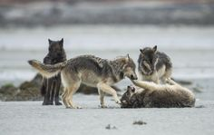 Sea Wolves   Pacific Wild