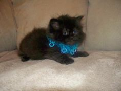 PERSIAN KITTENS  THE Rolls Royce of PERSIANS TEA CUPS I DO PAYMENTS