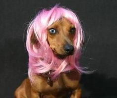 dogs with wig
