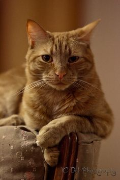 The yellow cat. by jcdill, via Flickr