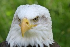 raptor adler bald eagles