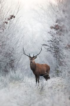 soyouthinkyoucansee: And the pale Virgin shrouded in snow, The wild deer, wandering here and there( souls, trembling hearts )H.photo by Nicolas Le Boulanger - Nature Animals, Animals And Pets, Cute Animals, Animals In Snow, Beautiful Creatures, Animals Beautiful, Hirsch Tattoo Frau, Photo Animaliere, Winter Scenery