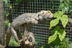 Bearded dragons sometimes go into brumation. Explore this interesting behavior of bearded dragons and learn more about brumation of Pogona Vitticeps.