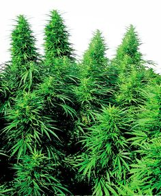 Buy Ruderalis Skunk® seeds online - Sensi Seeds UK - Medical use: stress, anxiety, depression, attention deficit disorder, pain, migraine