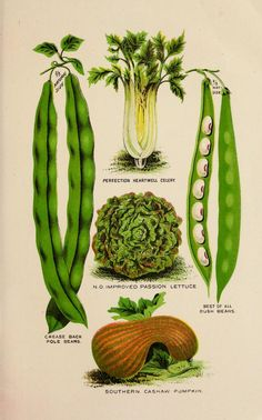 Color print illustrations of garden vegetables from an 1890 almanac for the Southern states ~ Heartwell Celery, Passion Lettuce, Bush Beans, Pole Beans, Southern Cashaw Pumpkin Bush Beans, Nature Prints, Botanical Illustration, Botany, Wall Collage, Cactus Plants, Lettuce, Vegetable Garden, Celery