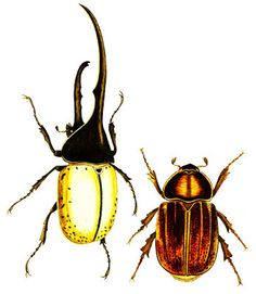 2 beetle bugs clipart png clip art Digital Image Download art graphics printables nature wildlife insects animal printable art science art