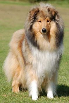 Someday when I have a house I want a Collie. But I wont buy...just look for a mixed at a pound or shelter! :)