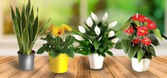8 Air-Purifying Indoor Plants for a Healthier Home - Bahay OFW Aquaponics Greenhouse, Aquaponics System, Lucky Plant, Tower Garden, Best Indoor Plants, Indoor Flowers, Snake Plant, Online Gifts, Houseplants