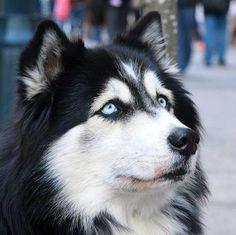 Siberian Husky...beautiful eyes