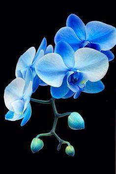 Blauwe orchideeën
