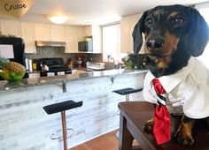 crusoe dachshund moving to country