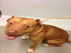 VINNY - A1074492 - - Manhattan  TO BE DESTROYED 06/05/16 **NEEDS A NEW HOPE RESCUE TO PULL** Vinny has not had an easy time in life during his 3 short years on this planet. Brought into the ACC by his former owner for the reason of biting someone, he now has an NH Rescue rating slapped on his cage which is a sure path to the euth room. He's a 61 lb pittie mix who the intake staff found easy to handle and very interested in playing with toys. Maybe he's just a pu