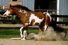 Western horses None of the pictures are mine but I always state the source American Paint Horse, American Quarter Horse, Cowboy Horse, Horse Girl, All The Pretty Horses, Beautiful Horses, Horse Ranch, Painted Pony, Brown Horse