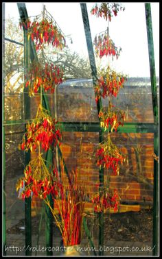 greenhouse Fruit Demo Garden RHS Wisley - drying chillies