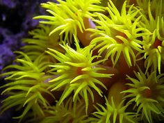 Sun polyp. These are not photosynthetic, to my knowledge, they feed at night.
