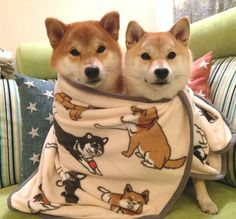 I love this dogs. Shiba Inus are so f***ing amazing!