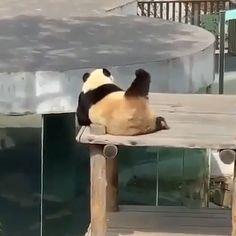 the happiest panda 🐼 😂😂 - Cute - Tierbilder Funny Animal Memes, Funny Animal Videos, Cute Funny Animals, Funny Animal Pictures, Cute Baby Animals, Funny Cute, Animals And Pets, Baby Pandas, Baby Giraffes