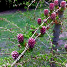 Young cones on Larix (Larch) spring 2012