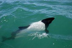 El Delfín pío o Tonina overa es una especie que habita en las frías y turbulentas aguas alrededor del Estrecho de Magallanes, en el extremo sur de Chile.
