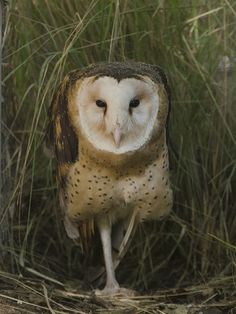 Eastern Grass Owl (Tyto longimembris), or Australian Grass Owl is a species of owl in the Tytonidae family. It is found in Australia, Bangladesh, China, Fiji, Hong Kong, India, Indonesia, Japan, Myanmar, Nepal, New Caledonia, Papua New Guinea, the Philippines, Taiwan, and Vietnam.