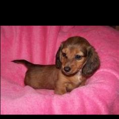 weiner dogs, i will own 2. one named weenie and another named buns!