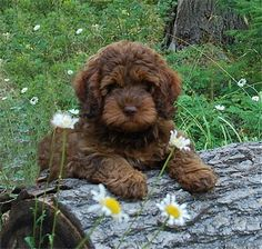 cute breed of labradoodle