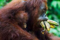 An orangutan eats a bunch of bananas at Tanjung Puting National Park, Indonesia. Orangutan Monkey, Mountain Gorilla, Interesting Animals, Cute Monkey, All About Animals, Wild Creatures, Pug Puppies, Monkey Business, Photos Of The Week