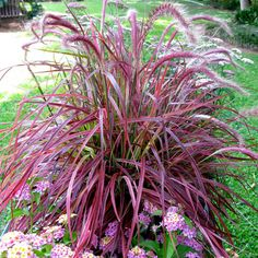 Variegated Purple Fountain Grass - FineGardening