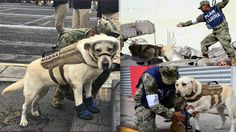 """This is """"Frida"""", she has saved 52 people so far in Mexico's Earthquake.A rescue dog who's helped to save over 50 people trapped in the rubble of Mexico's earthquake. Having already save 52 lives..."""