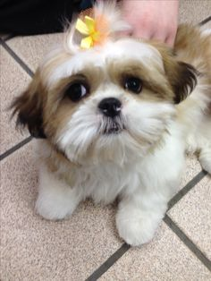 This lovely came in for a bath today! Lacey ❤️ #CutenessAlert #CutenessOverload #ShihTzu #DogGrooming