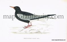 White-Winged Black Tern- 1867. Antique Hand Colored Print from Maps of Antiquity