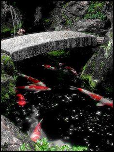 Koi, Kyoto, Japan Copyright: Sebayan Derubesu