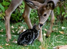 You are my 'deer' friend. Two deer befriend a kitten at the Scout Island Nature Centre in Williams Lake, Canada. Crazy Cat Lady, Crazy Cats, Pension Pour Chat, Animals Beautiful, Cute Animals, Wild Animals, Unlikely Animal Friends, Williams Lake, Pub Vintage