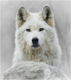 White wolves always make me think of a certain character who may never see the light of day... :