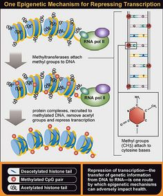 One epigenetic mechanism for repressing transcription.