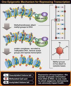 One epigenetic mechanism for repressing transcription.