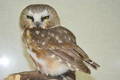 Owl - Northern Saw-whet Raptors, Owl, Birds, Animals, Animaux, Owls, Bird, Animal, Animales